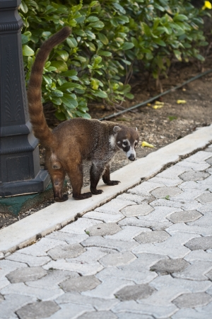 cozumel: Cozumel raccoon seaking for food at park Stock Photo