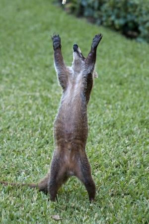 cozumel: Cozumel mapache Seaking por la comida en el parque