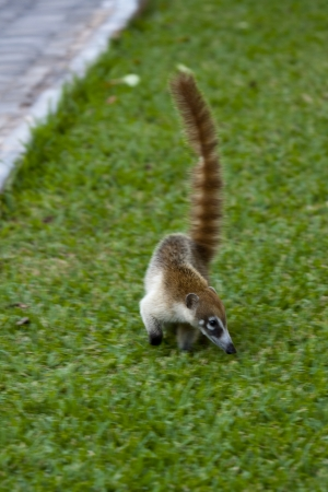Cozumel raccoon seaking for food at park Stock Photo - 15559164