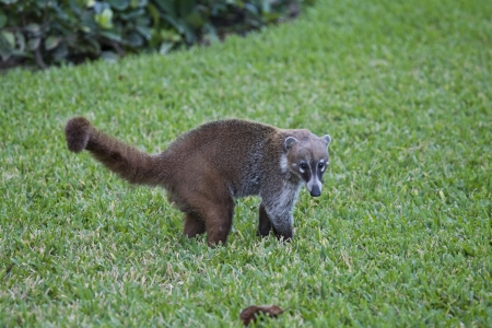 Cozumel raccoon seaking for food at park Stock Photo - 15559868