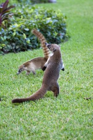 cozumel: Cozumel mapaches Seaking por la comida en el parque Foto de archivo