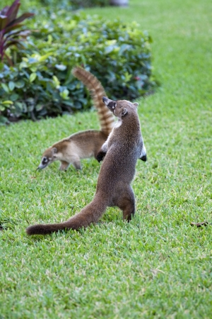 raccoons: Cozumel raccoons seaking for food at park Stock Photo