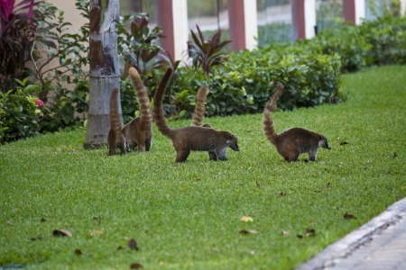 cozumel: Cozumel raccoons seaking for food at park Stock Photo
