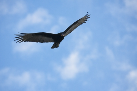 eagle flying: Flying hawk looking for its pray  Stock Photo