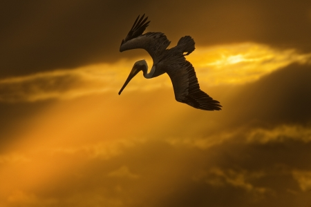 Flying pelican at sunset looking for its pray  photo