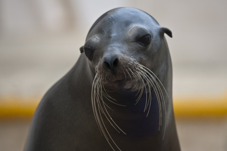 Posing seal is ready for photo session Stock Photo