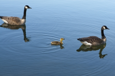 Canadian Geese with baby photo