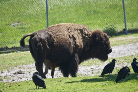 Bison Sanding in a green field with eagles