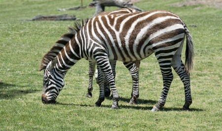veldt: Zebra eating grass on a green field Stock Photo