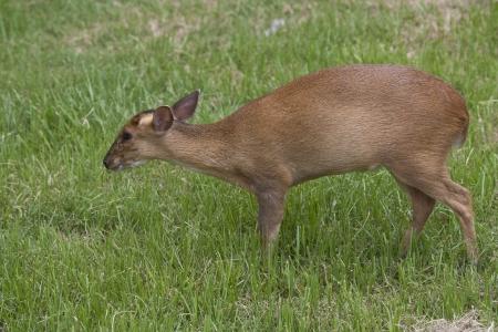 Muntjac deer walking on a field