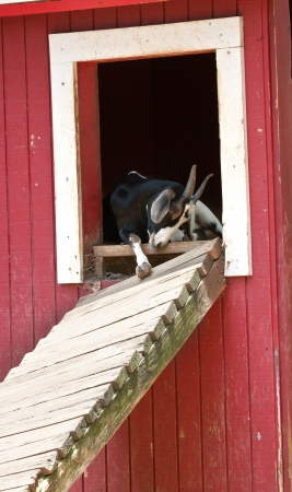 The Goat it The barn photo