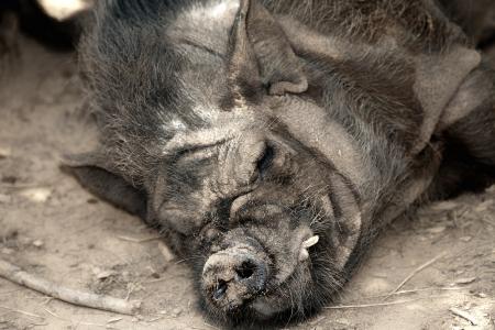 Sleeping Boar photo