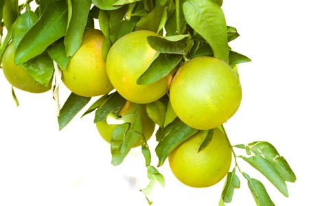 Citrus tree photo