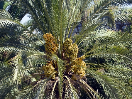Dates palmtree. photo
