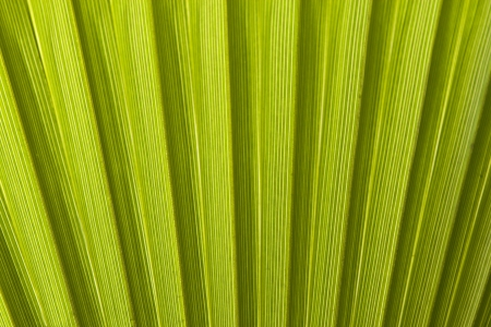 Texture of palm leaves in natural light  photo