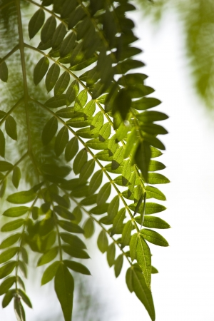Texture of Acacia leaves