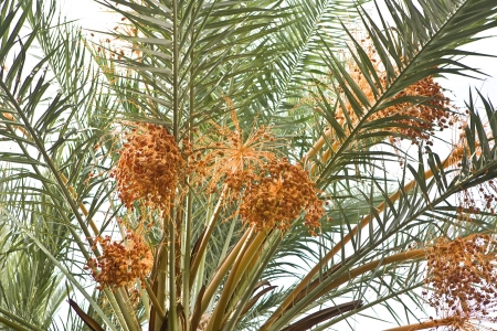 Banch of dates on palm tree  photo