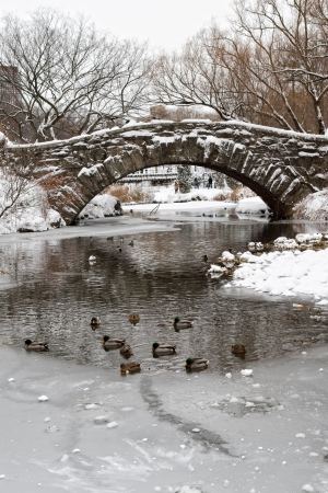 Central Park. Ducks in the river under the Gapstow Bridge  Stock Photo