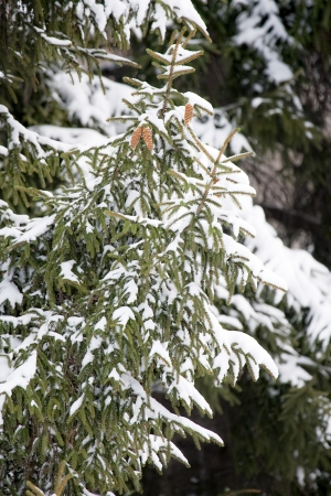 edge of the ice: Pine tree in a winter park