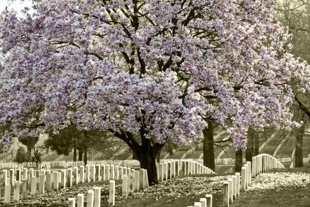 Arlington Natoinal Cemetery  Cherri blossom  Stock Photo