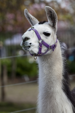 spitting: portrait of a llama shallow depth of field with focus on the eyes Stock Photo