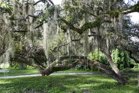 Mysterious Spanish Moss photo
