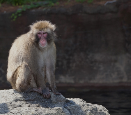 Close-up of a Japanese macaque or Snow monkey, sitting on a rock   Stock Photo