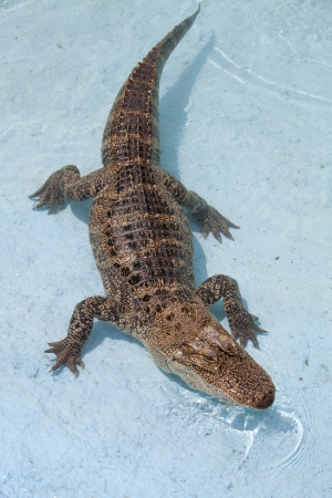 everglades national park: North American Aligator at pool Stock Photo