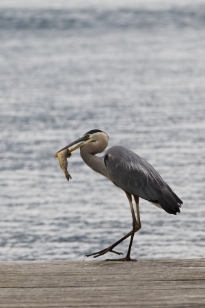 Great Blue Heron- successful fishing photo