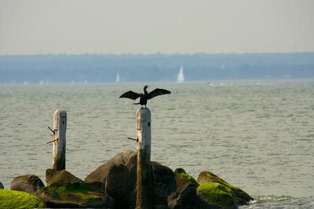 carbo: Great CormorantBlack Shag,(Phalacrocorax Carbo) spreading wings  Stock Photo