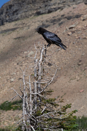corax: Crow perched on a dead branch