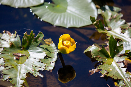 nymphaeaceae: Nuphar lutea. Yellow water-lily