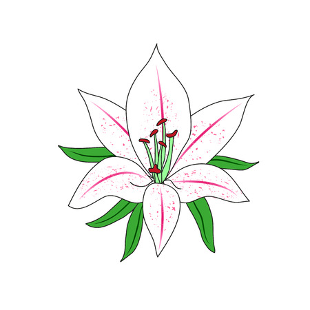 plant delicate: The figure of a Lily flower. Single flower. Illustration