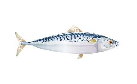 Scomber, poisson maquereau isolé sur fond clair. Poisson frais dans un style plat simple. Vecteur pour la conception d'emballages de fruits de mer et illustration de marché. EPS10. Vie marine ou nature aquatique.