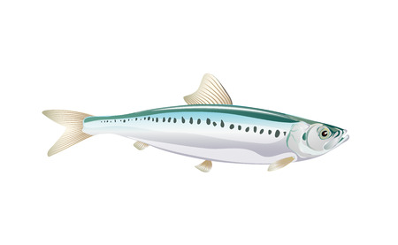 Sardina, pesce Ivasi isolato su sfondo chiaro. Pesce fresco in un semplice stile piatto.