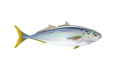 Japanese yellowtail fish, isolated flat on light background. Pacific fresh seafood in a simple style. Vector for design marine life and illustration market packaging. EPS10. Ocean, inhabitants water.