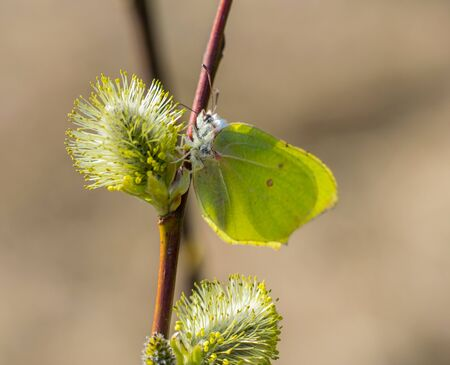 A blooming twig of willow and the first spring yellow butterfly. A spring butterfly sits on a palm bud. Yellow butterfly.