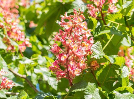 Blossoming pink chestnut flowers in springtime , red or pink chestnut flower.