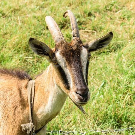 Portrait of a brown goat on a background of green meadow
