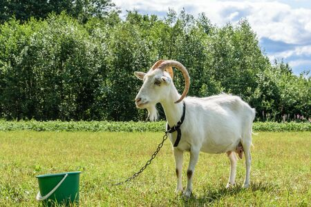 A white goat with big horns and a beard stands in front of a green bucket in the meadow.
