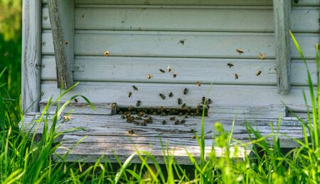 Worker bees fly near the hive on a bright sunny day