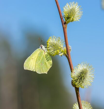A blooming twig of willow and the first spring yellow butterfly. A spring butterfly sits on a palm bud. Yellow butterfly. Banque d'images