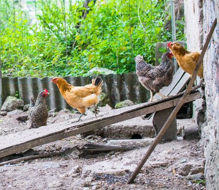 Domestic chickens walking in the backyard. Poultry coming out of the barn for a walk. Stock fotó