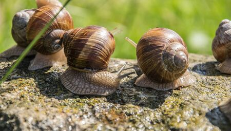 Grape snails sits on the gray stone in summer. 写真素材 - 138838026