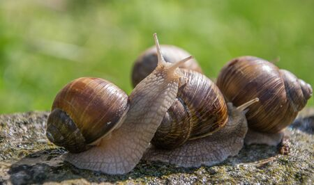 Three brown grape snails sits on the gray stone in summer.