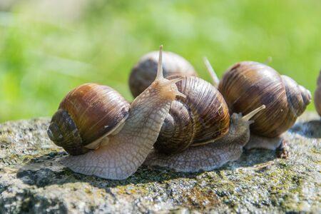 A brown grape snails sits on the gray stone.