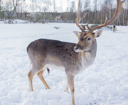 White-tailed deer in winter against the background of white snow.