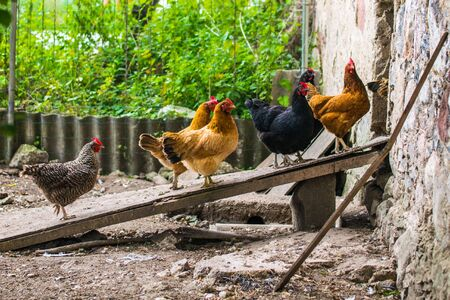 Domestic chickens walking in the backyard and entering an inclined board in the barn. Imagens