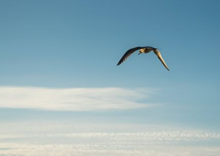 Seagull flying on a background of blue sky. 版權商用圖片