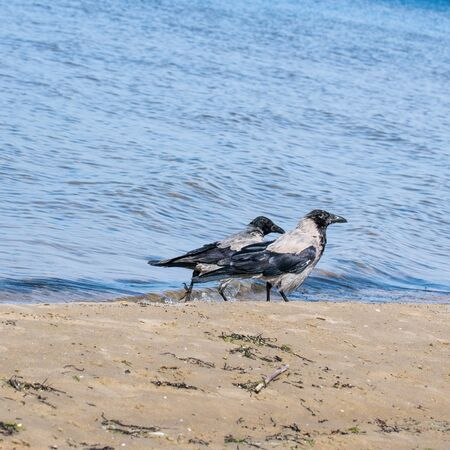 Two gray crows walking along the shore of the Baltic Sea in search of food. Corvus cornix. Passerine.